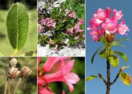 Rhododendron hirsutum L. - Sistema informativo sulla flora delle ...