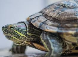 How To Tell The Age Of A Turtle The Turtle Hub