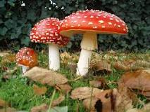 Image result for fly agaric mushrooms for sale uk