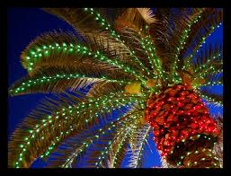 Florida's Christmas Palm Trees | Phillip's Natural World