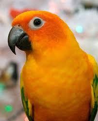Sun Conure Growth Chart Colour Inspiration Tropical Birds Birds Tropical Birds
