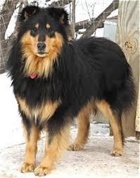 german shepherd tibetan mastiff mix. Modren Tibetan Germanshepherdcolliemix3 In German Shepherd Tibetan Mastiff Mix H