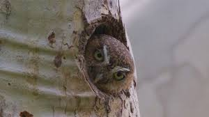 Meet The Worlds Smallest Toughest Owl Howstuffworks