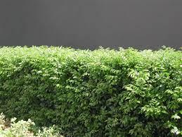 Murraya Paniculata - Orange Jasmine ...