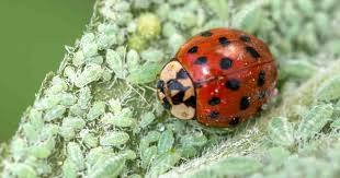 beneficial insects like the ladybug also known as lady beetle feed on aphids