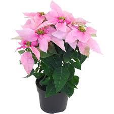 Weihnachtsstern Princettia Soft Pink Rosa Topf ø Ca 13 Cm