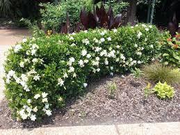 gardenia hedge a living privacy fence garden garden furniture atlanta botanical garden