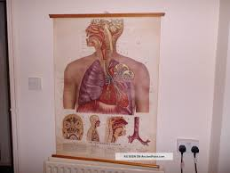 Vintage Pull Down Medical School Chart Of Respiratory System