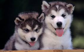 cute dogs and puppies husky.  Husky Cute Dogs And Puppies Husky With R