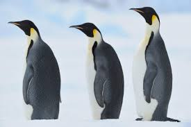 real emperor penguin. Modren Real Emperor Penguins Are Truly Beautiful Birds Adults Have A White Stomach And  Black Head Back Tail Wings They Also Yellowygold Markings On The  In Real Penguin O