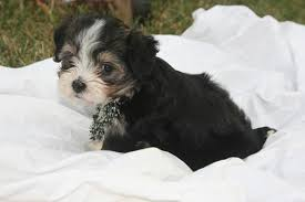 Small Picture Tri color havanese click here for more pictures KASE Havanese