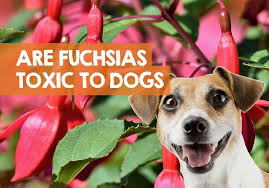 are fuchsias poisonous to dogs berries