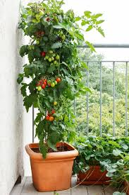 it is possible to grow tomatoes in pots but there are a few best tomato varieties for containers that are easy to grow taste great and produce heavily