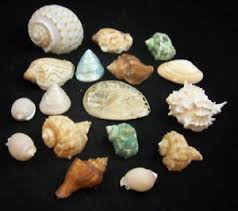 sea shells collection beautiful 17 mixed seashells sea shell collection murex clam tonna