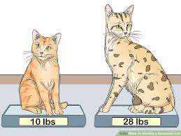 savannah cat chart how to identify a savannah cat 8 steps with pictures