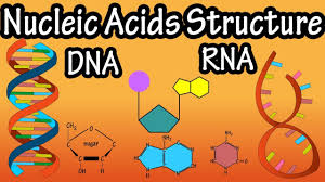 Structure Of Nucleic Acids Structure Of Dna Structure Of Rna