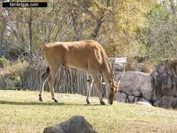 busch gardens animals 002 gazelle jpg