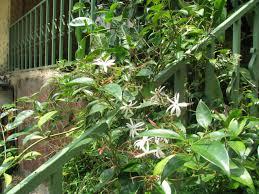 flowering viners
