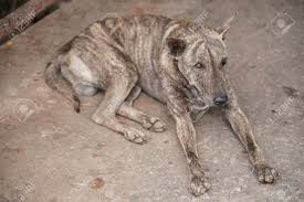 Dog Sleep Pattern Simple Tiger Pattern Homeless Dog Sleep On The Dirty Floor In Mawlamyine