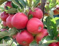 Growing Dwarf Fruit Trees And Nut Trees  Organic Gardening Dwarf Fruit Trees Virginia