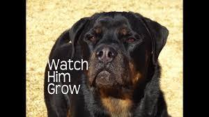 Rottweiler Size And Weight Chart Rottweilers First Year Watch Him Grow