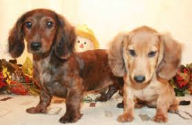 miniature dachshund breeders with puppies for in al ak az ar