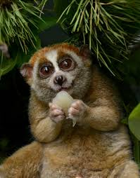 Image result for pygmy slow loris