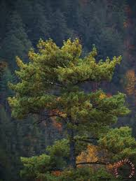 pine tree with backdrop of a forest covered mountain painting raymond gehman pine tree with