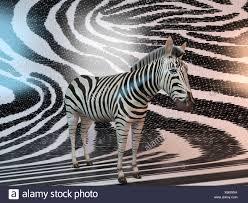 Zebra Patterns Enchanting 48d Zebra Patterns Stock Photo 48 Alamy