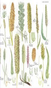Grass Identification Chart Uk Image Result For British Meadow Grass Species British Wild