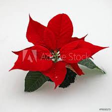 Weihnachtsstern Im Schnee 75332173 Glass Tiles