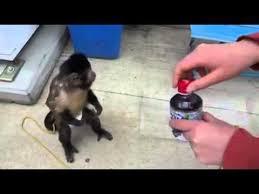 Monkey Uses Vending Machine Enchanting Monkey Uses Vending Machine YouTube
