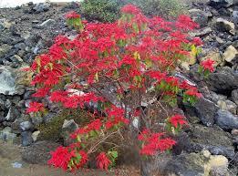 Weihnachtsstern Pflanze