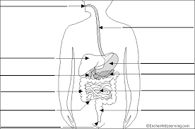 label digestive system diagram printout  simple version    digestive system to label