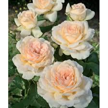 rosier sweet love harmisty les