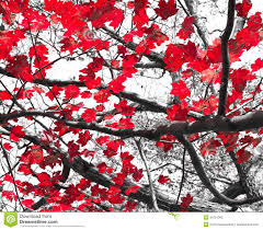 Red Fall Leaves on Black and White