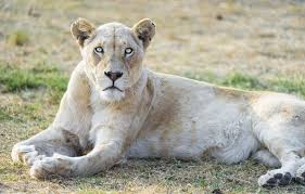 white lioness with blue eyes. Fine Lioness Photo Wallpaper Cat Look Blue Eyes Lioness White Lion Tambako On White Lioness With Blue Eyes