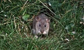 rat proof garden how to get rid of