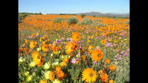 namaqualand the flowering desert south africa