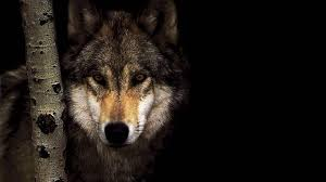 wolf 3308 wolf wallpaper 1920x1080 hot hd wallpaper