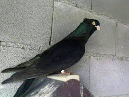 russian high flyer pigeons for sale kaftar