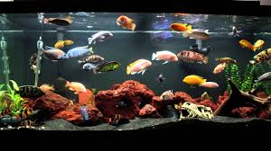 Fish Tank 10 Minutes Of An African Cichlid Fish Tank Youtube