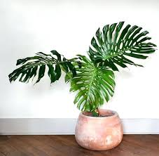 big indoor plants large indoor plants big indoor plants uk