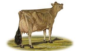 Jersey Calf Weight Chart American Jersey Cattle Association And National All Jersey