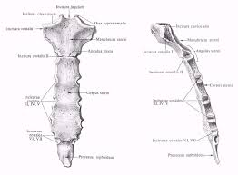 Реферат Строение грудной клетки com Банк рефератов  Строение грудной клетки