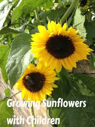 growing sunflower plants in your flower garden how to grow own sunflowers with kids kidsinthegarden