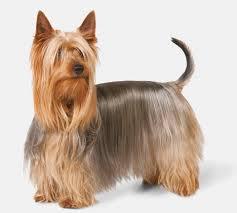 silky dog. silky terrier dog breed d