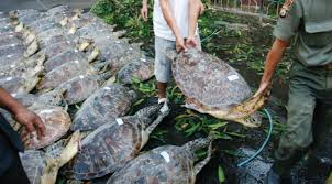 is conservation extinct ensia seventy one illegal green sea turtles seized by bali police from local fisherman