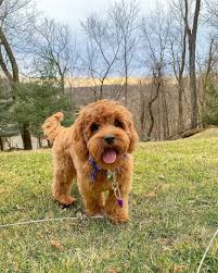 Labradoodle Color Chart Labradoodle What You Need To Know About The First Doodle