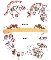 life cycle of unicellular single celled alternation generations the life cycle of malaria parasite plasmodium 1 2 the development of plasmodium in the first stage of the life cycle 3 reproduction in liver cells